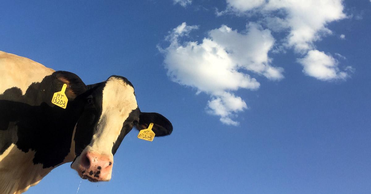 青空をバックに、カメラマンをのぞき込む牛を仰ぎ見る写真